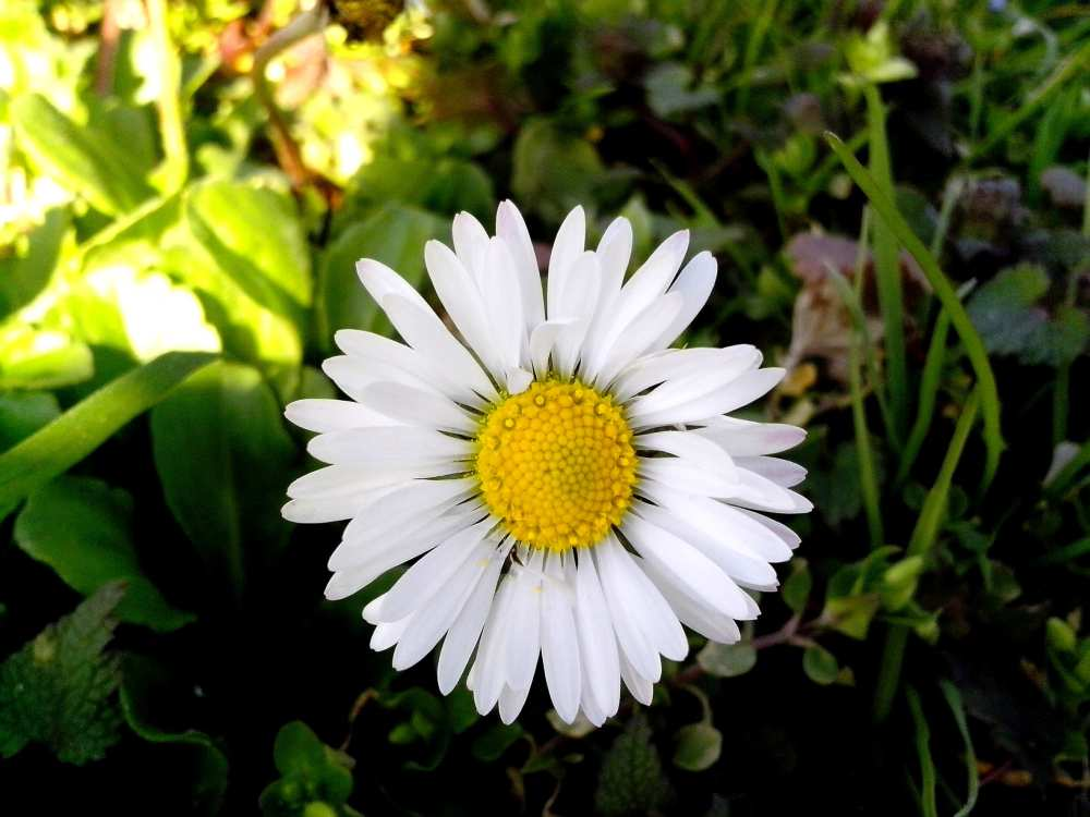 Daisy flower with petals on the green grass