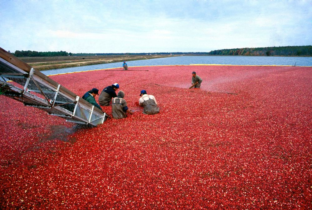 Cranberry Harvest in New Jersey
