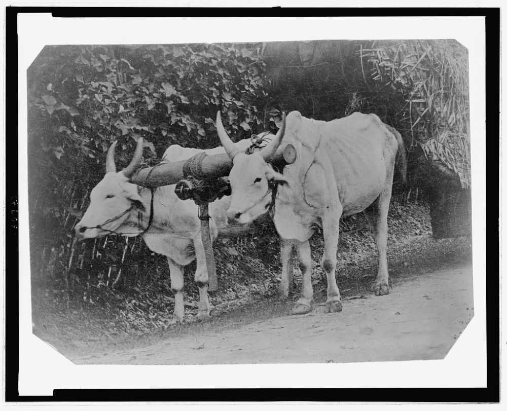 Two Yoked Oxen